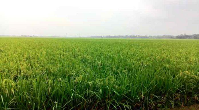 area pertanian karawang